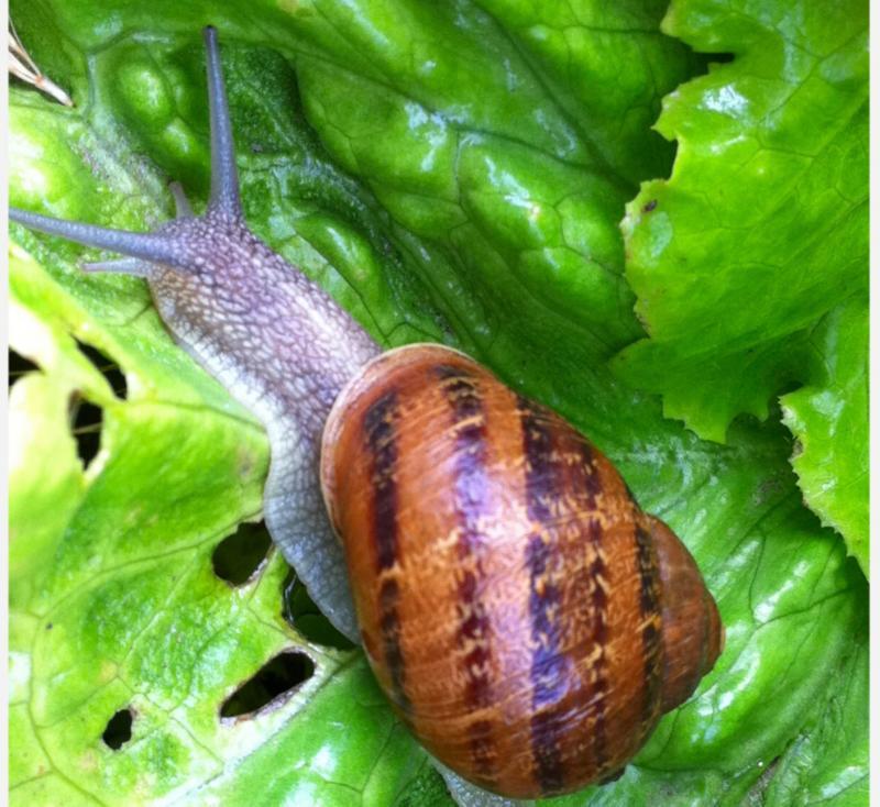 Agroecolog a for Caracoles de jardin que comen